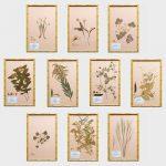 William Stuart Thornton (b. 1946)- Ten Pressed Botanicals