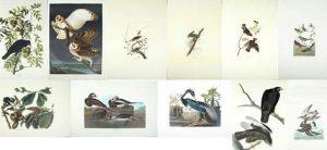 John James Audubon (1785-1851), Group of Eleven Prints, consisting of Barn Owl, No. 35, Plate 171, Amsterdam ed. American Crow