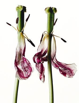 Irving Penn, Tulip.Tulipa: China Pink, New York, pigment print, 2006. Estimate $25,000 to $35,000.