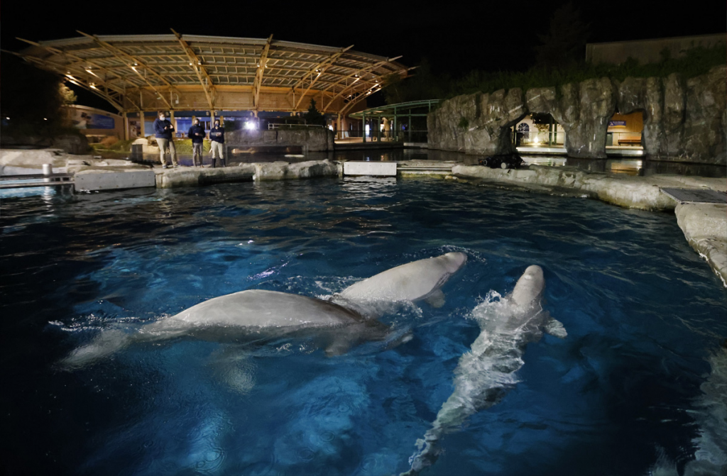 Some of the beluga whales at the Mystic Aquarium. Image courtesy of Guernsey's/ the Mystic Aquarium.